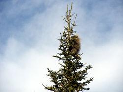 Jan 18 porcupine 2