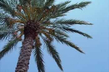 Palm-tree-1a